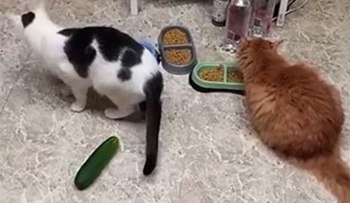 Salatalıktan korkan kediler kahkahaya boğdu