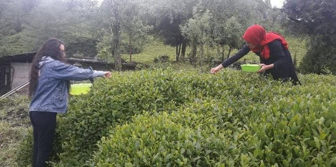 Rize'de beyaz çay hasadı başladı