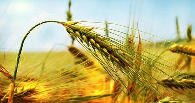 Bilecik'te çiftçiler buğday için tarlaya indi