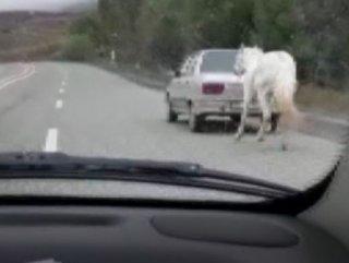 Atı otomobilin arkasına bağladı, yola çıktı