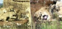 Dişi aslanlar, sürü lideri erkek aslanı öldürmeye kalktı