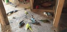 Kümese giren sansar muhabbet kuşlarını öldürdü