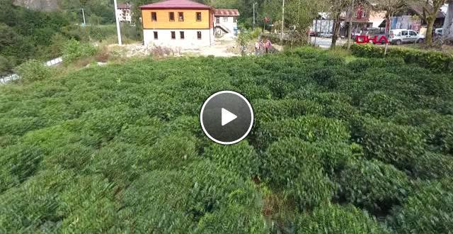 Rize Çay Tarımında Mucize; 3 Kat Verim Elde Edilen Gübre Bulundu