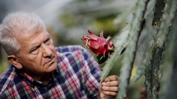 Türkiye'nin birincil tropikal meyvesine tescil